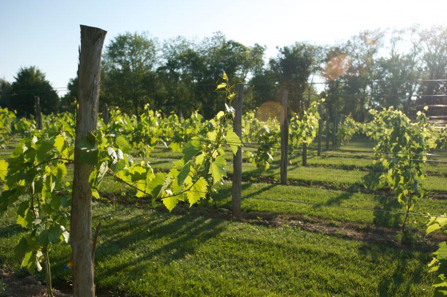 tuscany-vines